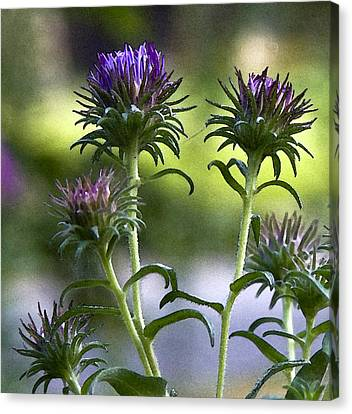 Asters Canvas Print by Michael Friedman
