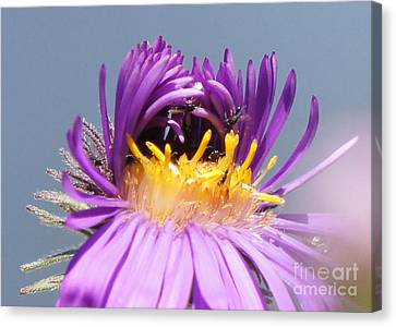 Asters Starting To Bloom Close-up Canvas Print by Robert E Alter Reflections of Infinity