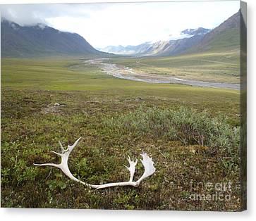 Atigun Valley Caribou Shed Canvas Print
