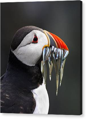 Atlantic Puffin Fratercula Arctica Canvas Print by Wim Klomp