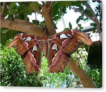 Canvas Print featuring the photograph Atlas Moth by Wendy McKennon