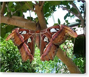Atlas Moth Canvas Print by Wendy McKennon