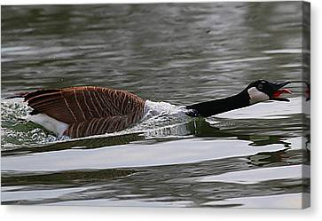 Canvas Print featuring the photograph Attack Of The Canadian Geese by Elizabeth Winter