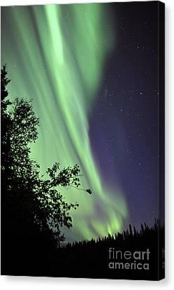 Aurora Borealis Above The Trees Canvas Print by Jiri Hermann