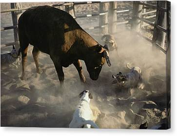 Australian Cattle Dogs Herd A Shorthorn Canvas Print by Medford Taylor