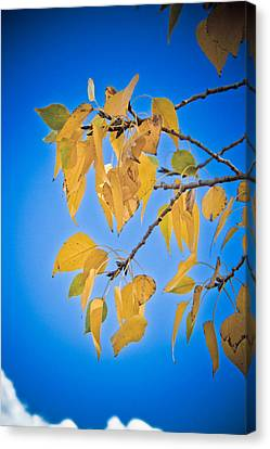 Autumn Aspen Leaves And Blue Sky Canvas Print by James BO  Insogna