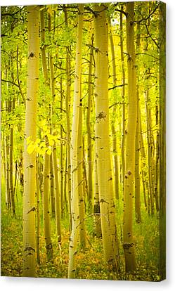 Autumn Aspens Vertical Image  Canvas Print by James BO  Insogna