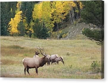 Autumn Elk Canvas Print by David Wilkinson