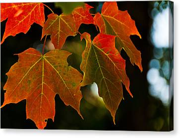 Canvas Print featuring the photograph Autumn Glory by Cheryl Baxter