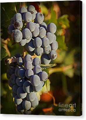 Autumn Grapes On A Vineyard Branch In The Fields At A Winery In  Canvas Print by ELITE IMAGE photography By Chad McDermott
