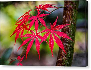 Canvas Print featuring the photograph Autumn Japanese Maple by Ken Stanback