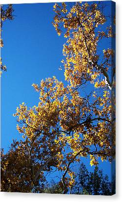Autumn Leaves Canvas Print by Steve Huang