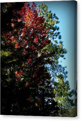 Autumn Maple And Ponderosa Pines Canvas Print by Aaron Burrows