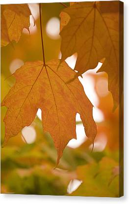 Canvas Print featuring the photograph Autumn Maple Leaf  by Lisa Missenda