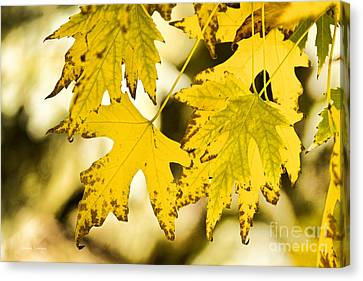 Autumn Maple Leaves Canvas Print by James BO  Insogna