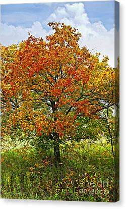 Rural Landscapes Canvas Print - Autumn Maple Tree by Elena Elisseeva