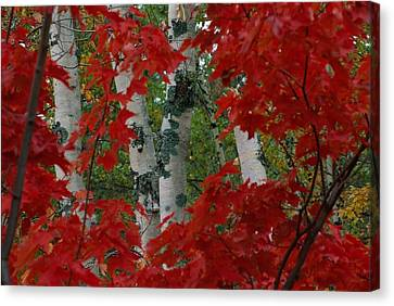 Autumn Red Maple Leave Frame Canvas Print by Medford Taylor