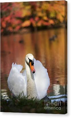 Canvas Print - Autumn Swan by Leslie Leda