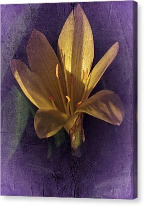 Autumn Yellow Crocus Canvas Print