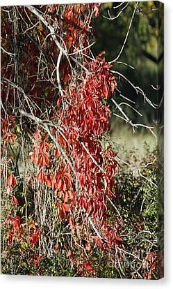 Autumns Red Vines Canvas Print