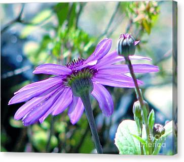 Avatar's Pericallis Canvas Print by Rory Sagner