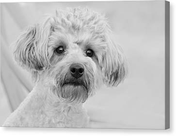 Awesome Abby The Yorkie-poo Canvas Print by Kathy Clark