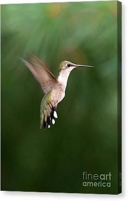 Awesome Hummingbird Canvas Print by Sabrina L Ryan