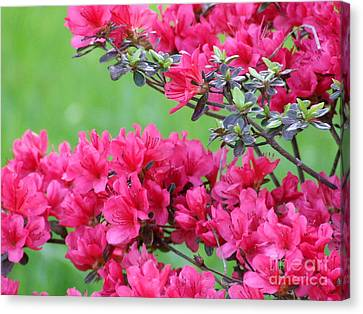 Canvas Print featuring the photograph Azalea by Andrea Anderegg