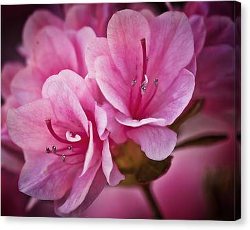 Azalea Fission One Canvas Print by Michael Putnam