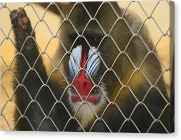 Canvas Print featuring the photograph Baboon Behind Bars by Kym Backland