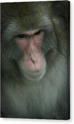 Baboon Canvas Print by Cindy Haggerty