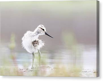 Baby Avocet Canvas Print by Bmse