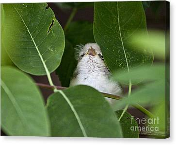 Canvas Print featuring the photograph Baby Bird Peeping In The Bushes by Jeannette Hunt