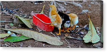 Baby Chickens Canvas Print by Atom Crawford