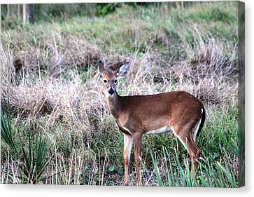 Canvas Print featuring the photograph Baby Deer At Viera by Jeanne Andrews