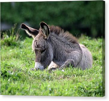 Baby Donkey Canvas Print by Deborah  Smith