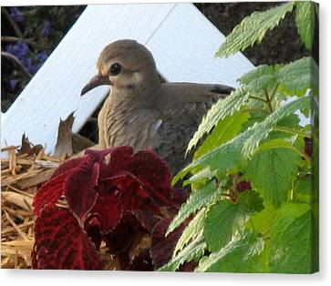 Canvas Print featuring the photograph Baby Dove by Kimberly Mackowski