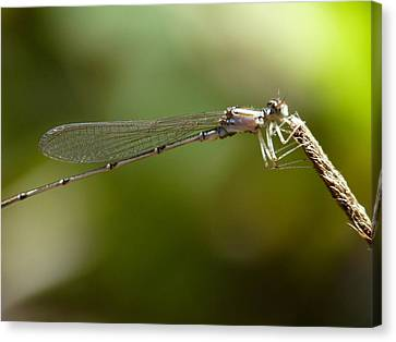 Baby Dragonfly Canvas Print by Terry Eve Tanner