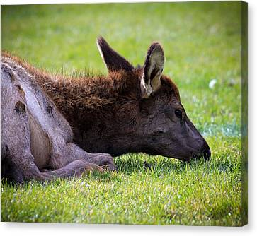 Canvas Print featuring the photograph Baby Elk by Steve McKinzie