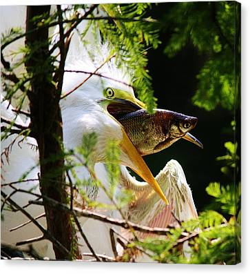 Baby Great White Egret With Lunch Canvas Print by Paulette Thomas