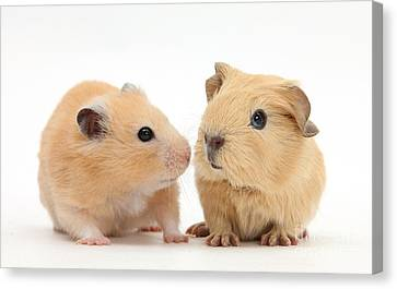Baby Guinea Pig And Golden Hamster Canvas Print by Mark Taylor