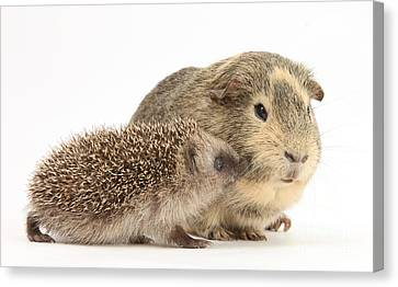 Cavy Canvas Print - Baby Hedgehog And Guinea Pig by Mark Taylor