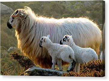 Baby-lambs Canvas Print by Barbara Walsh