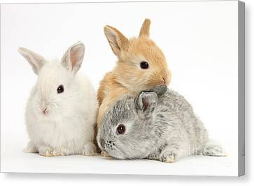 House Pet Canvas Print - Baby Lop Rabbits by Mark Taylor