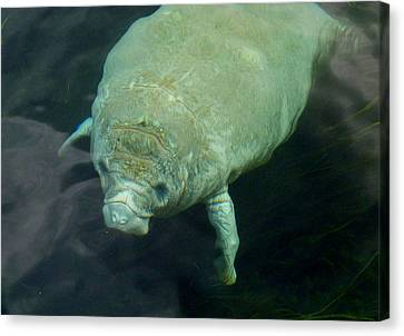 Baby Manatee Canvas Print by Carla Parris