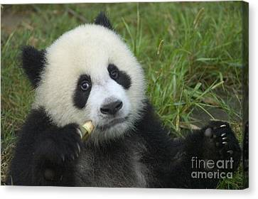 Canvas Print featuring the photograph Baby Panda by Craig Lovell