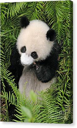 Canvas Print featuring the photograph Baby Panda In Ferns by Craig Lovell