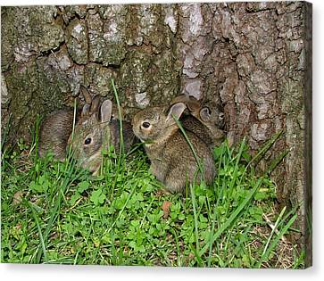 Baby Rabbits Canvas Print