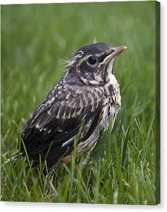 Canvas Print featuring the photograph Baby Robin by John Crothers
