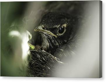 Canvas Print featuring the photograph Baby Robin by Tom Gort